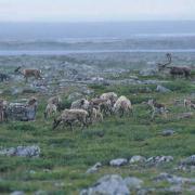 Landscape_caribou_[1].jpg